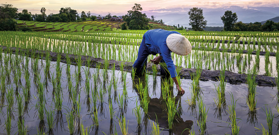 Farmer tending to a rice paddy